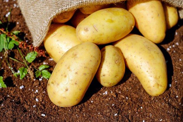картопля, фото Pxhere