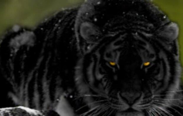 Черный тигр, фото: