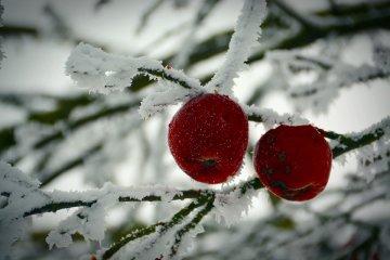 Чоловік, який працював у саду, випадково натрапив на яблука-примари: дивну аномалію вдалося зняти