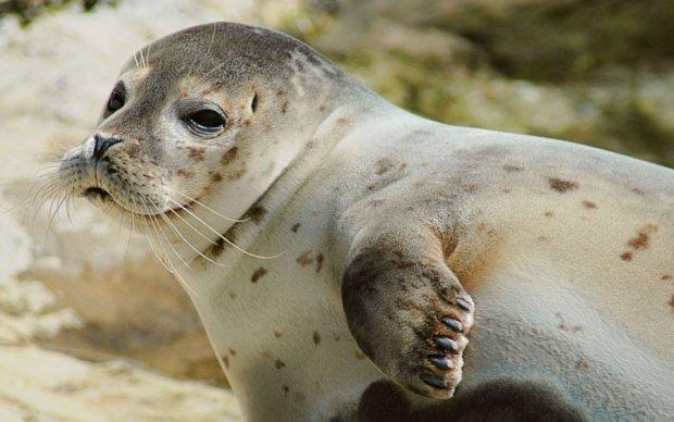 Россияне задержали двух тюленей-диверсантов, подплывших к атомной станции