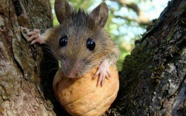 """Митники """"згодували"""" мишам 2 тонни горіхів"""