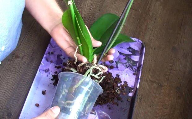 Орхідея / скріншот з відео