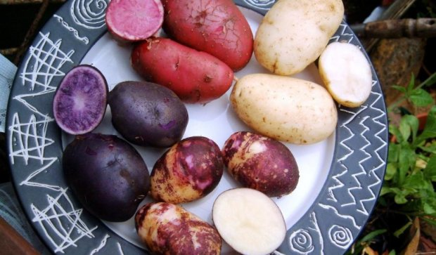Украинцы вывели уникальную разноцветную картошку