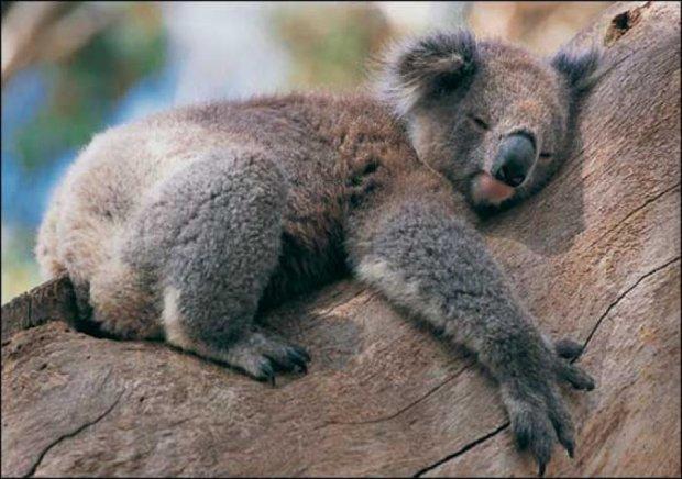 У Австралії вбили майже 700 коал