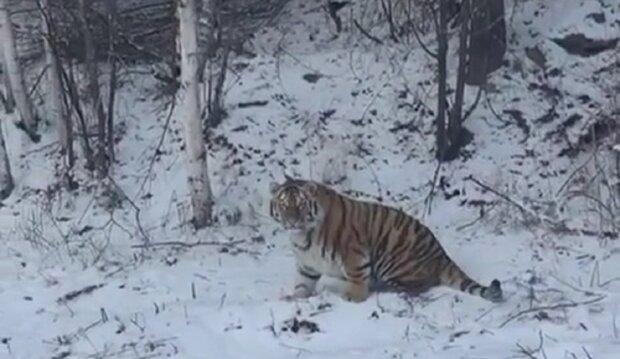 тигр, скриншот с видео