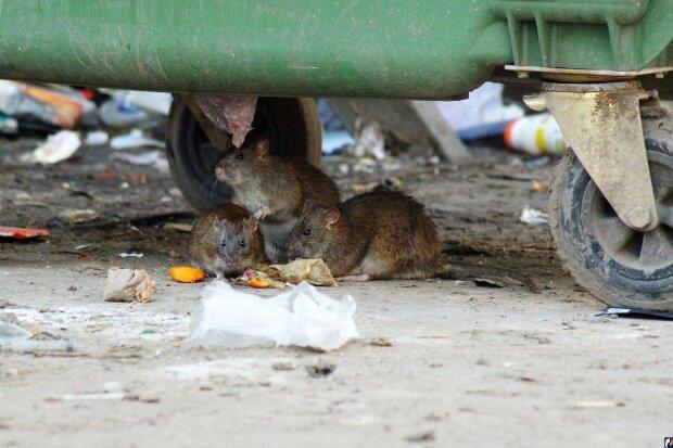 Днепр атаковали стаи крыс, нападают прямо на улице: кадры не для брезгливых