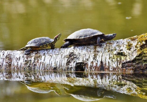 """Винницу заполонили черепахи, """"зевают"""" и греют панцыри на солнышке: мимимишность зашкаливает, видео"""