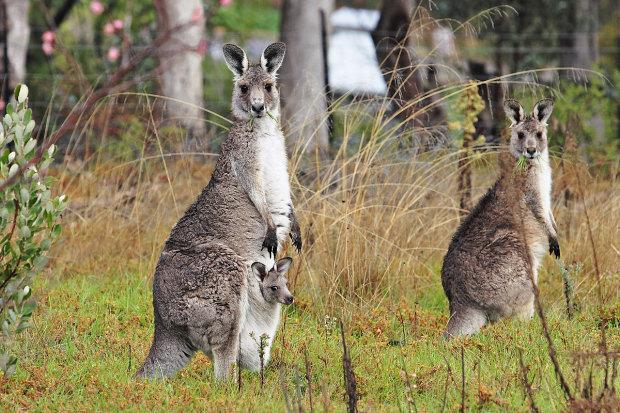 В жилой дом пробрался кенгуру и сладко уснул на кровати: фото умилят каждого