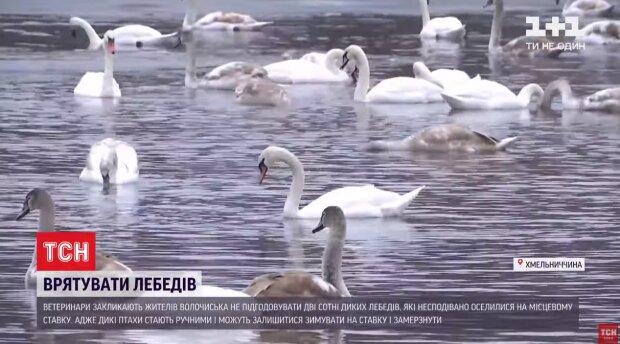 """Хмельниччани не дають лебедям відлетіти у теплі краї, можуть померти: """"Коли допомога шкодить"""""""