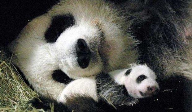 В австрийском зоопарке родилась пандочка (ВИДЕО)