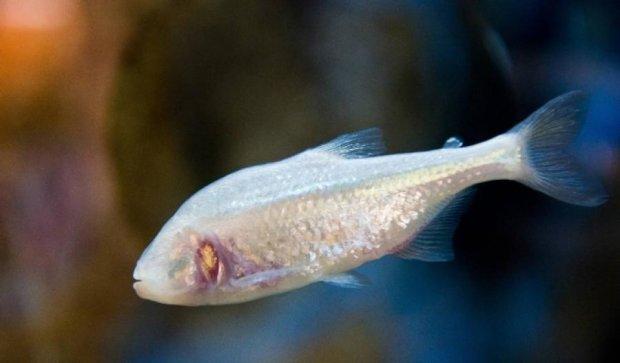 Гени сліпої риби допоможуть вилікувати шизофренію