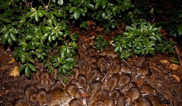 Смертельно небезпечні пацюки тероризують Нью-Йорк