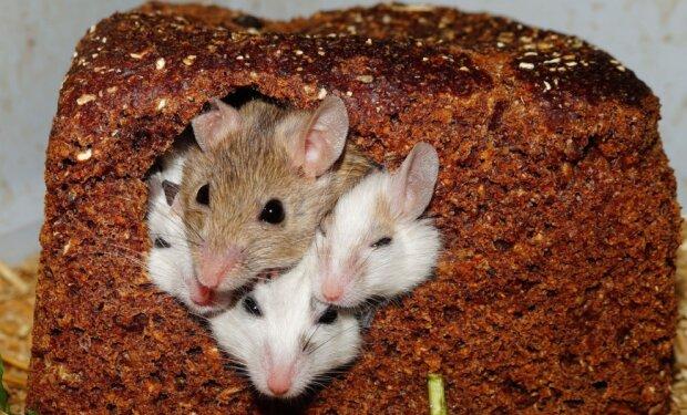 Мыши, фото pxhere