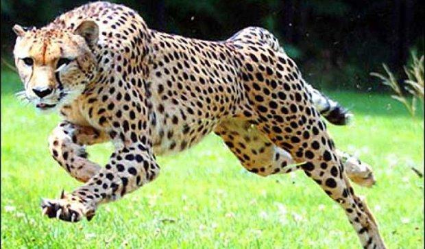 Рідкісний вид гепарда почали клонувати в Аргентині