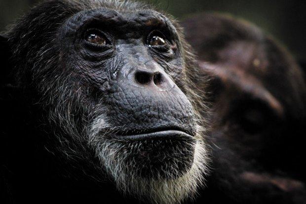Пыталась отгрызть себе руку: в норвежском зоопарке изуверы накачали шимпанзе наркотиками