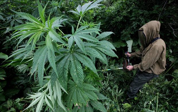 """""""Нардепи готові підтримати"""": у """"Слузі народу"""" підготували легалізацію марихуани"""