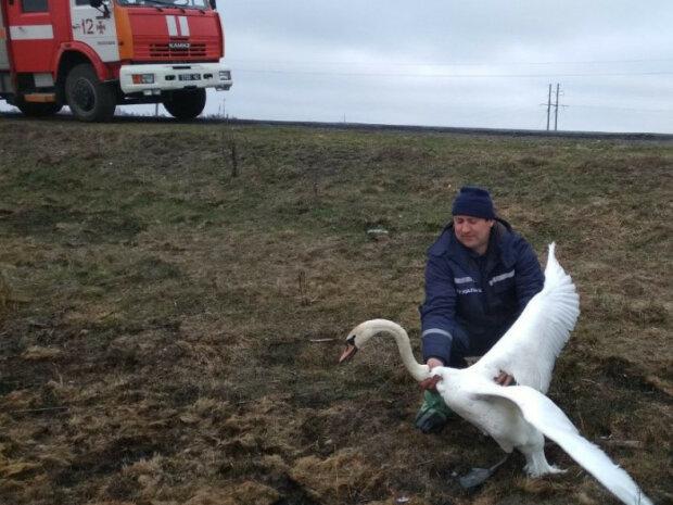 """Зима близко: во Франковске устроили """"облаву"""" на лебедей"""