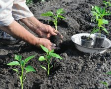 вирощування овочів