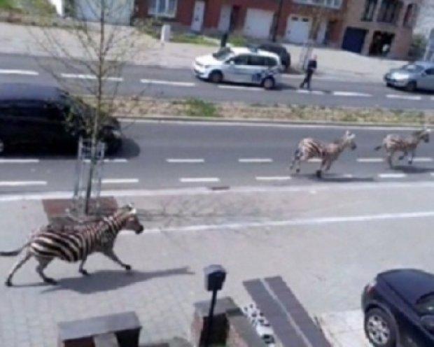 Центром Брюсселя бегали зебры (видео)