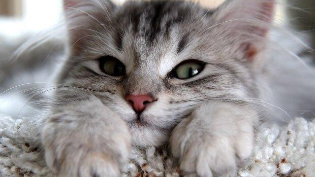 Котика-муркотика в кожен дім: алергія більше не стане цьому на заваді, новітня розробка допоможе перевернути ваше життя
