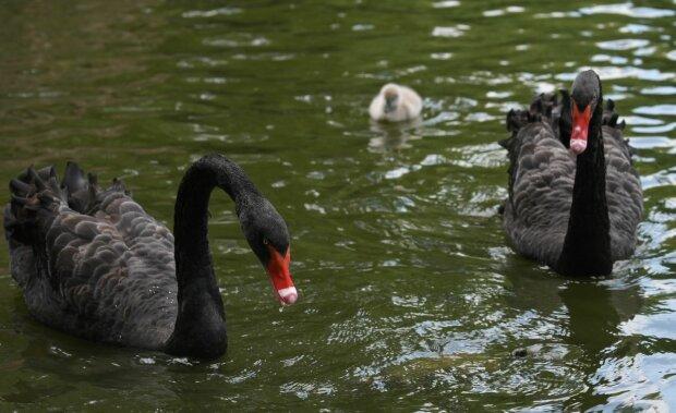 У пари чорних лебедів поповнення, фото: galka.if.ua