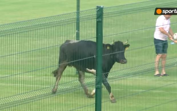 Корова перервала футбольний матч в Болгарії