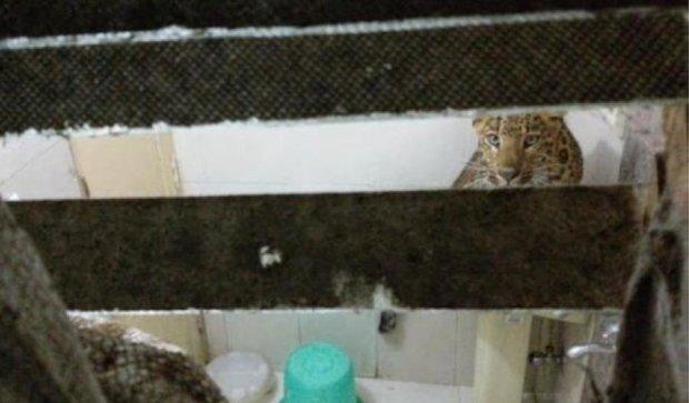 В Индии на отель напал леопард