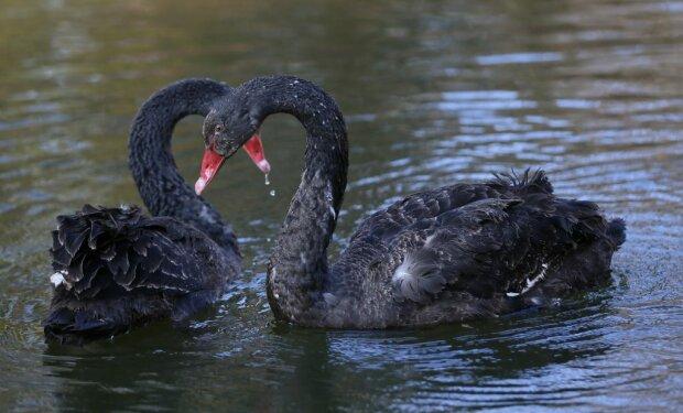 У Львові пара чорних лебедів показала двох малюків - копія мами
