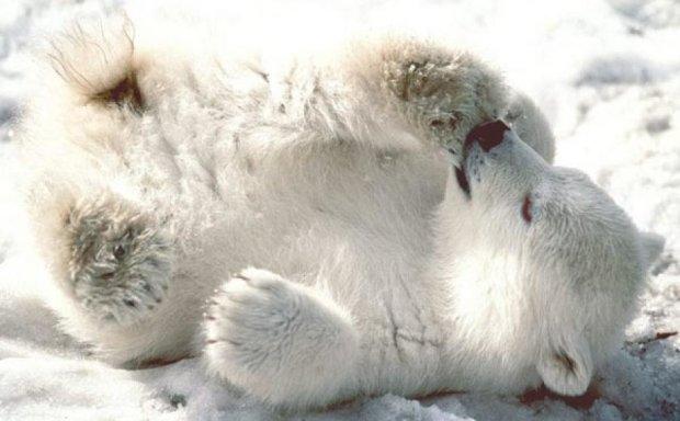 Полярний ведмедик бачить сни (відео)