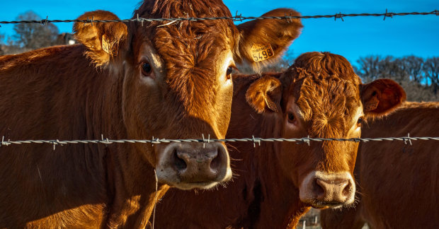 корови