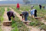 Польський пан побив заробітчан просто на плантації, українці лютують