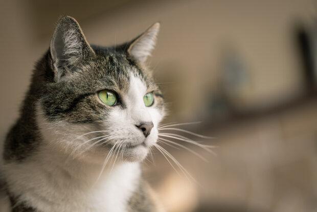 кішка, фото pxhere