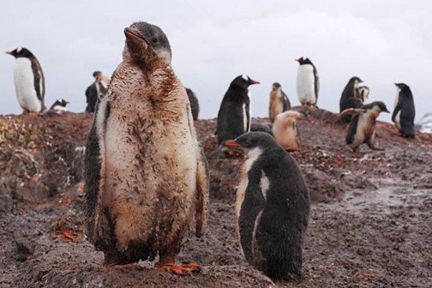 Cтійких до смердючих пінгвінів людей запрошують в Антарктиду