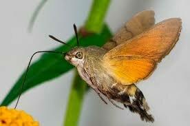 Бабочка-бражник