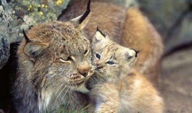 У Черкаському зоопарку вперше народилась рись