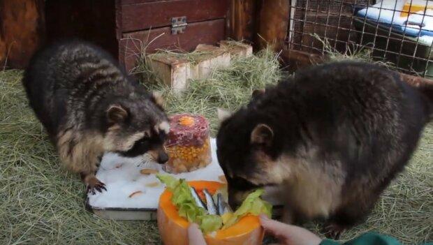 Еноты, скриншот из видео