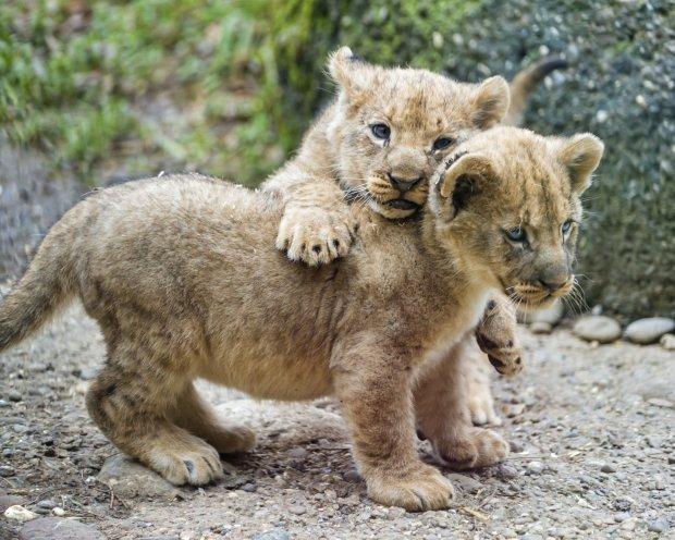 Не в саванах Африки, а в Україні: на світ з'явилися троє екзотичних тварин, миле відео