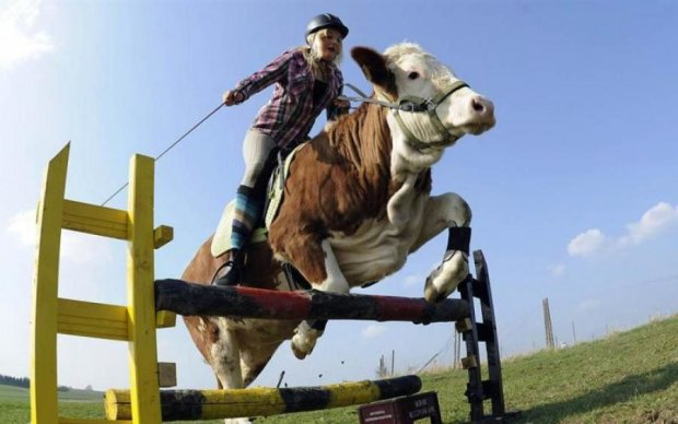 В Новой Зеландии юная красавица оседлала корову