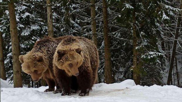 Медведи, фото, Олег Вишневый