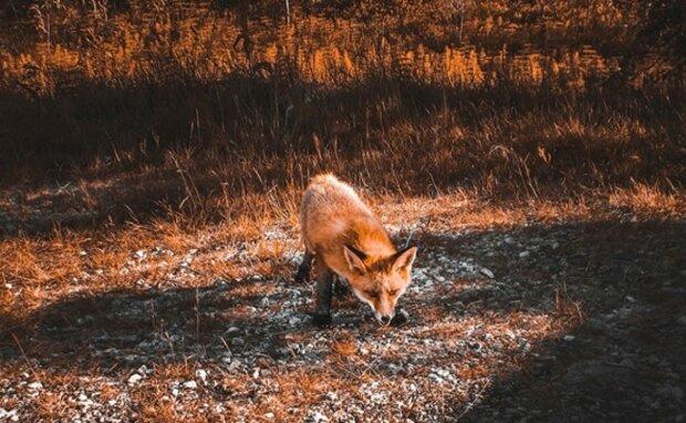 Львівщину атакували лисиці, ілюстративне фото