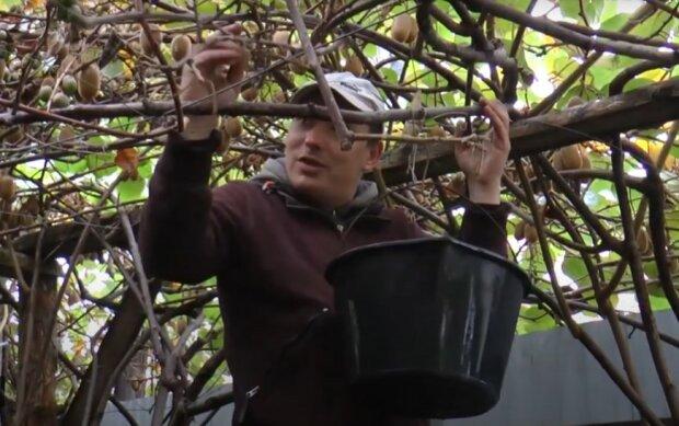 Урожай киви, скриншот
