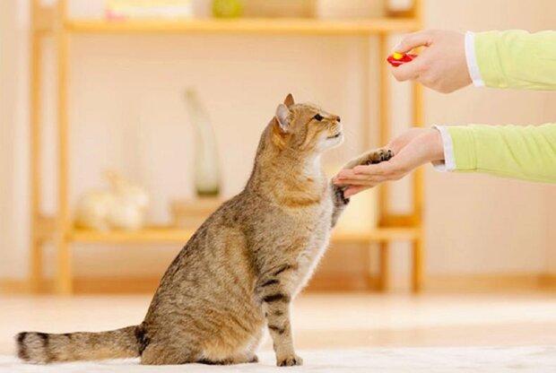 Дрессировка кошек. Фото: 5nt.ru