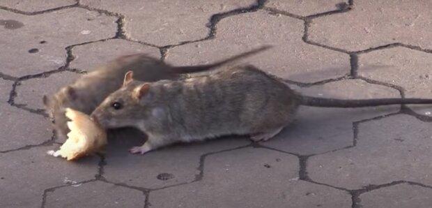 Щури, скріншот із відео