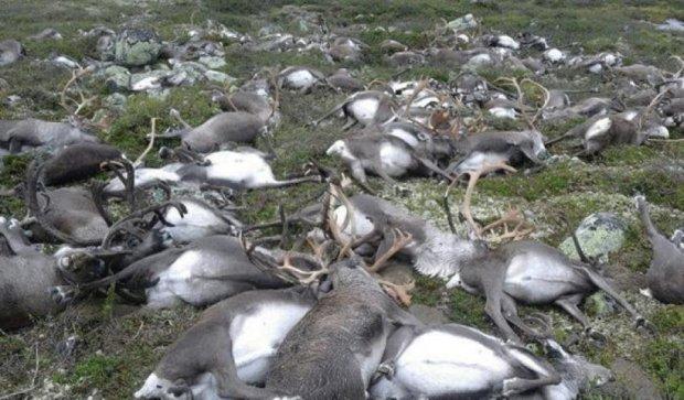 Норвежский парк усеян сотнями трупов оленей (видео)