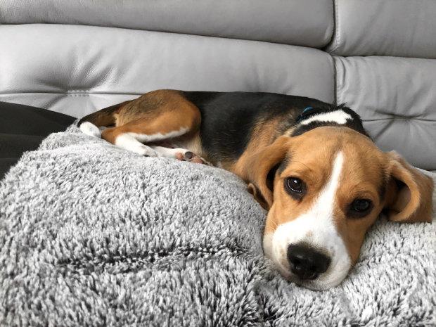 Несчастная собака по имени Молли потеряла щенков и впала в депрессию. Справиться с горем ей помог один случай