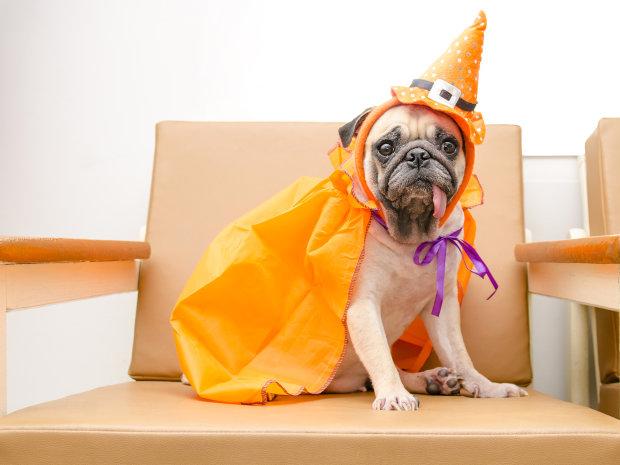 """Кумедний пес освоює чаклунство. За командою """"Авада Кедавра"""" він замертво падає на підлогу. Це виглядає дуже натурально"""