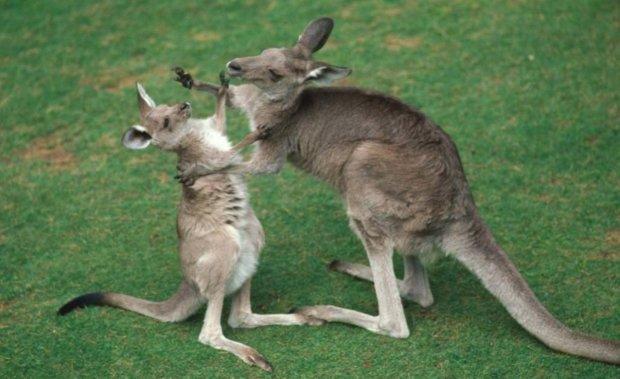 """Вчені виявили новий вид тварин: """"крихітні хижі кенгуру"""""""