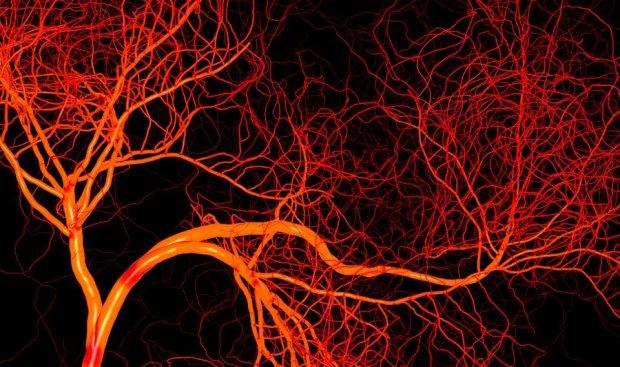 Сосуды в чашке Петри: биоинженеры вырастили еще один идеальный органоид