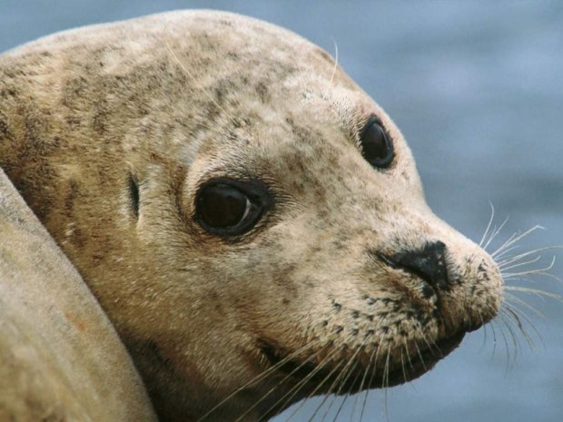 Тюлень жорстко відшмагав туриста восьминогом: відео