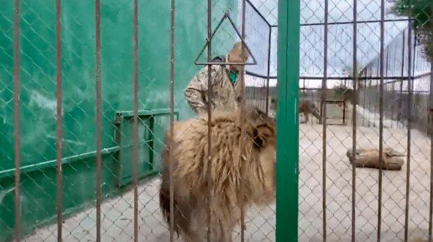Безбашений екстремал заліз у вольєр з левами заради селфі для Instagram, реакція хижаків здивувала всіх